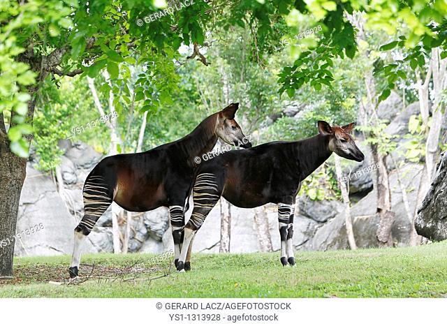Okapi, okapia johnstoni, Male with Female