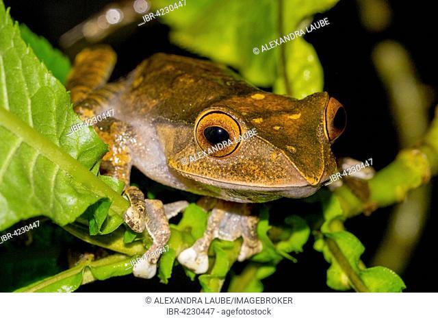 Madagascar Bright-eyed Frog (Boophis madagascariensis), rainforest of Ranomafana National Park, Southern Highlands, Madagascar