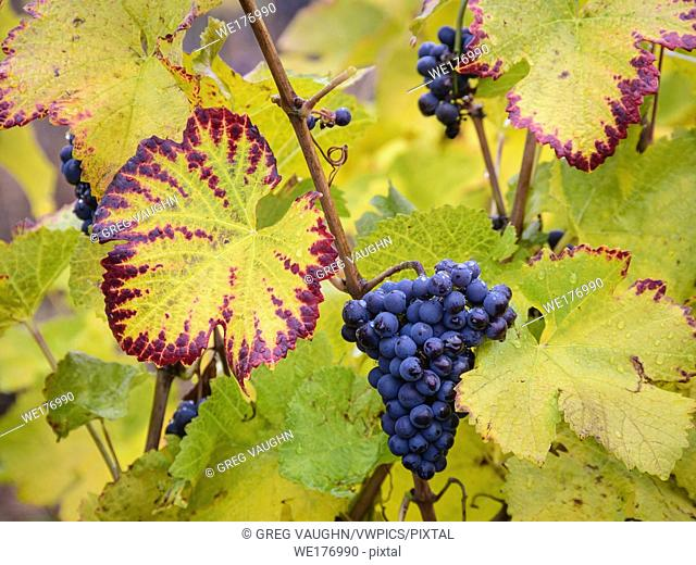 Pinot Noir wine grapes left on vine after harvest; Ardiri Winery and Vineyards, Tualatin Valley, Oregon
