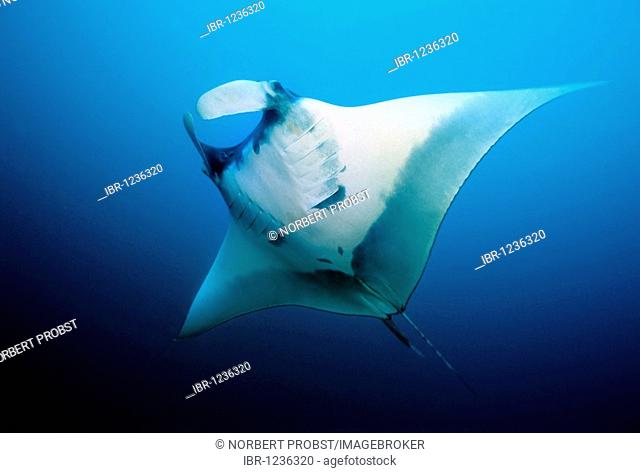 Manta Ray (Manta birostris) head fins opened, in midwater, open sea, Similan Islands, Andaman Sea, Thailand, Asia, Indian Ocean