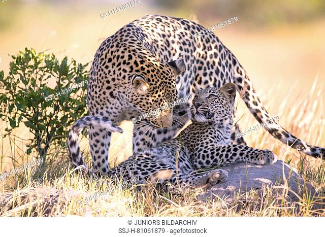 Leopard (Panthera pardus), female moving behind her seven month old cub