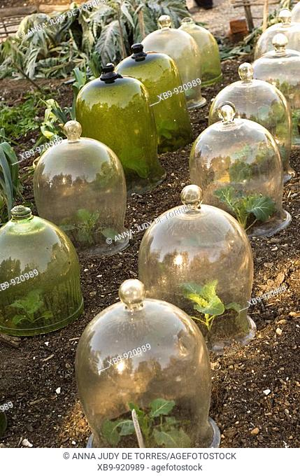 Bell-shaped jars over growing plants in a demonstration colonial garden in colonial Williamsburg. Colonial Williamsburg is the historic district of the...