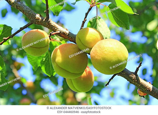 Ripe apricot fruits on branch. Apricot crop on tree. Two ripe apricot fruits. Appetizing ripe apricots on tree branch with green leaves. Closeup