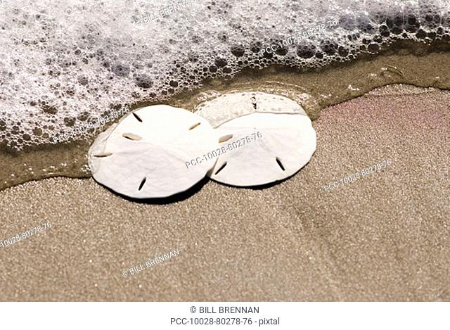 Sand Dollars on the beach with ocean wash and seafoam
