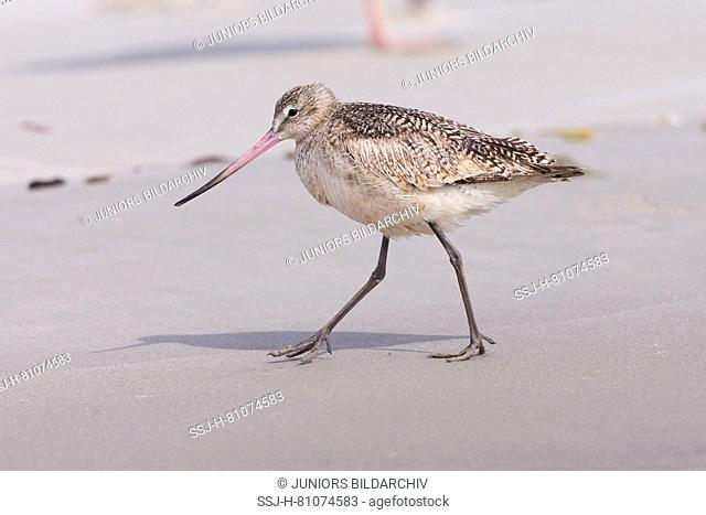 Marbled Godwit (Limosa fedoa) walking on a beach, Baja California, Mexico
