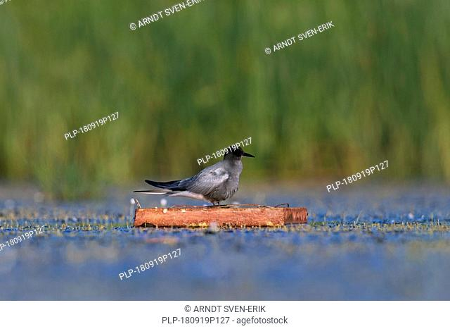 Black tern (Chlidonias niger) in breeding plumage on floating artificial nesting platform in pond