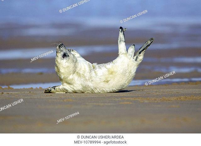 Grey Seal - pup on beach stretching itself (Halichoerus grypus)