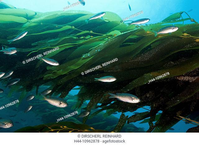 Blacksmith Damselfish, Kelp, Chromis punctipinnis, San Benito Island, Mexico