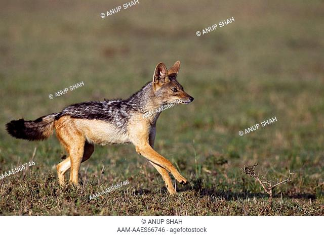 Black-backed jackal running(Canis mesomelas). Maasai Mara National Reserve, Kenya. Aug 2011