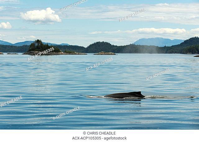 Humpback Whale, Megaptera novaeangliae, Broughton Archipelago, Vancouver Island, British Columbia, Canada