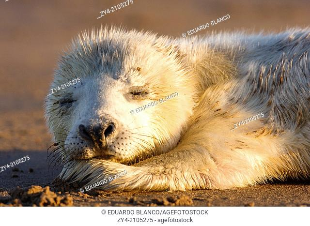 Seal grey (Halichoerus grypus) Donna Nook National Nature Reserve, Lincolnshile, England, U.K., Europe