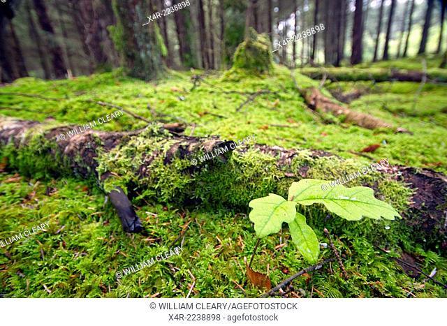 Oak seedling in a spruce pine wood, County Westmeath, Ireland