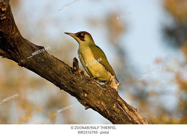 Male green woodpecker (Picus viridis)