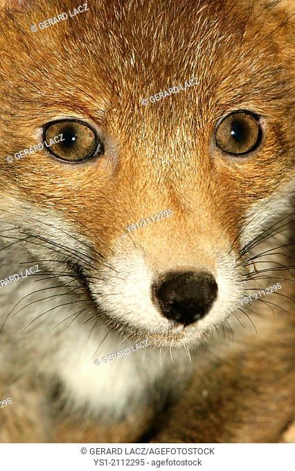 Red Fox, vulpes vulpes, Portrait of Cub, Normandy