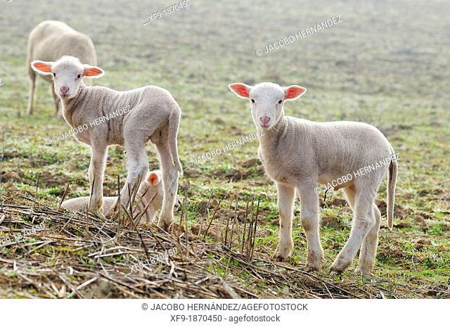 Merino lambs Badajoz province Extremadura Spain