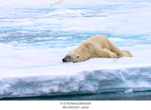 Polar bear (Ursus maritimus), male stretching on pack ice, Svalbard Archipelago, Barents Sea, Arctic, Norway