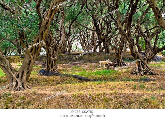 Sheeps in olive grove on Corfu island, Greece