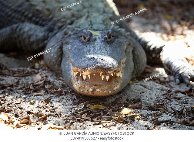 Dangerous alligator with open mouth breathing