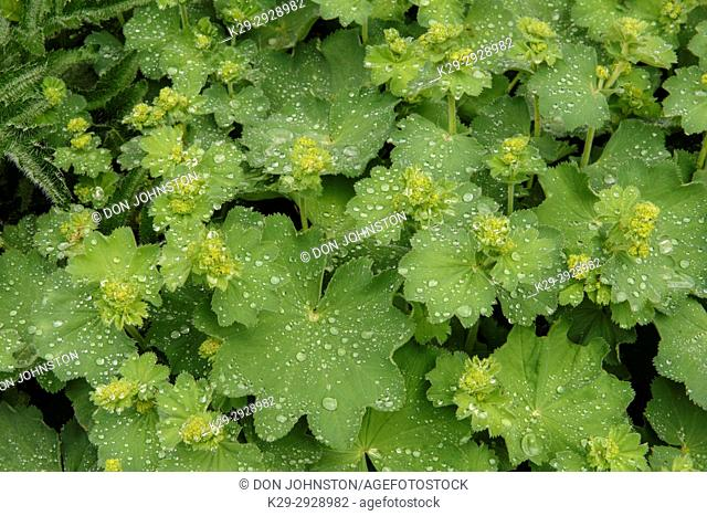 Lady's Mantle (Alchemilla mollis ) leaves with raindrops in early summer, Greater Sudbury, Ontario, Canada