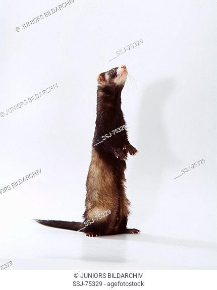 mustela putorius f  furo / domestic polecat - standing on hind legs on white background -