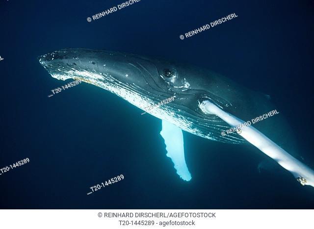 Humpback Whale, Megaptera novaeangliae, Samana Peninsula, Dominican Republic