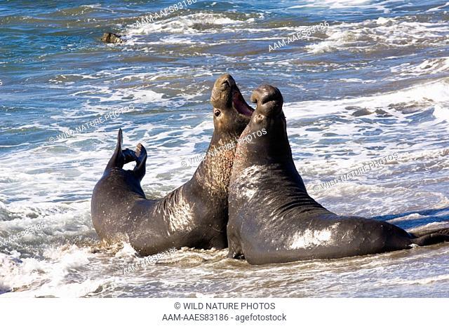 Two Northern Elephant Seal bulls (Mirounga angustirostris) fighting during mating season, Central California