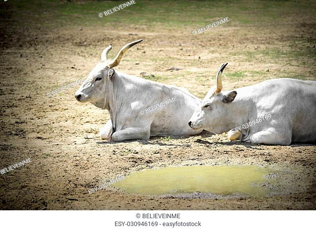 Two white buffalo lying on the ground