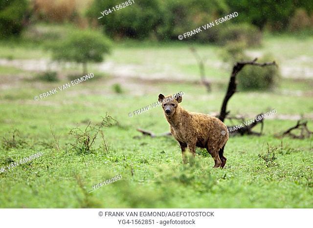 Spotted Hyena spotted hyena Crocuta crocuta Hluhluwe-Imfolozi Game Reserve, Kwazulu-Natal, South Africa