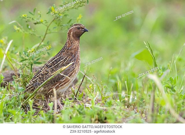 Common Quail (Coturnix coturnix), side view of an adult male standing on the ground