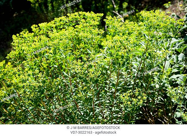 Euphorbia hierosolymitana is a shrub native to eastern Mediterranean region