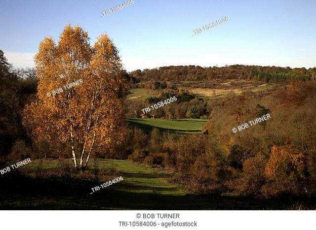 Silver Birch Headley Heath Surrey England
