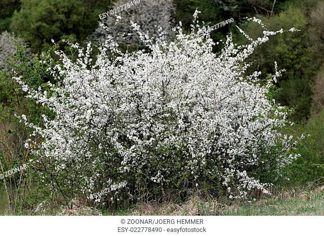 Blackthorn, Prunus spinosa