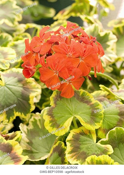 PELARGONIUM MRS. POLLOCK