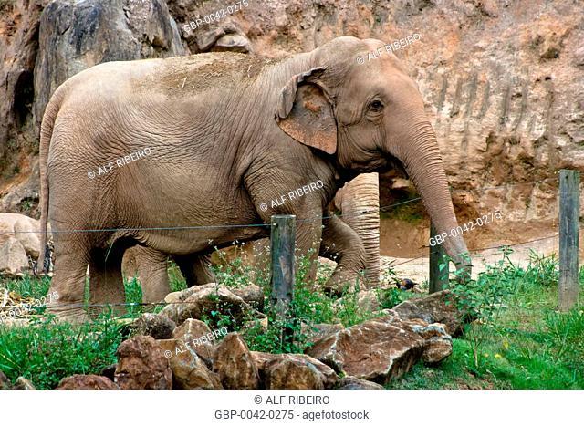 Asian elephant; Elephas Maximus; Zoopark of Itatiba; SP; Sao Paulo; Brazil