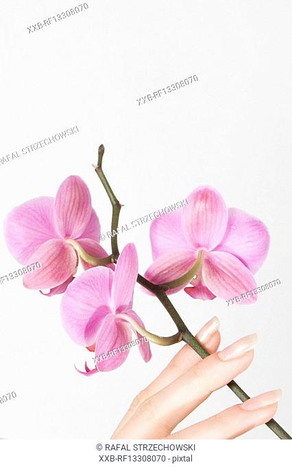 close-up of hand with pink orchid