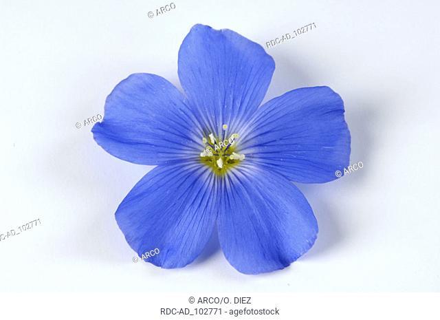 Blue Flax blossom Linum perenne Perennial Flax