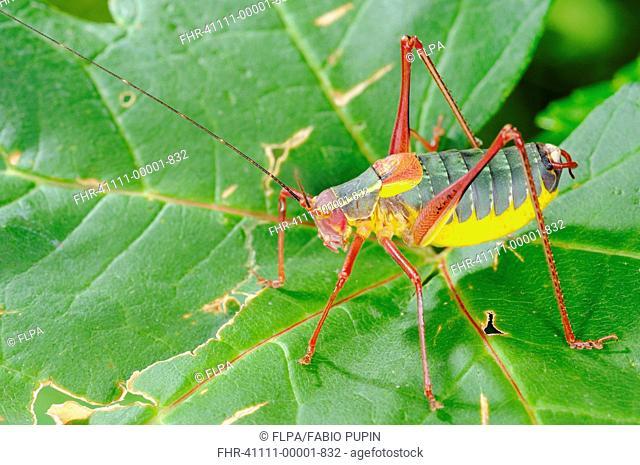 Bush-cricket Barbitistes onustus adult, standing on leaf, Italy, july