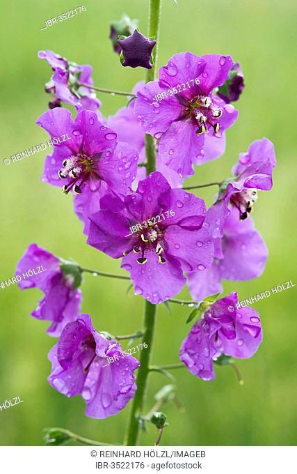 Purple Mullein (Verbascum phoeniceum)