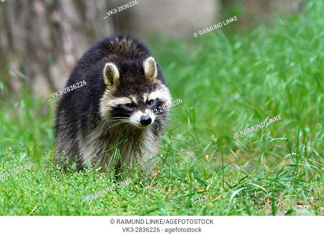 Raccoon, Procyon lotor, Germany, Europe