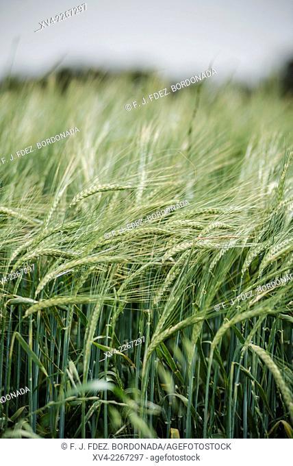 Cereal fields of Vaderrobres, Matarraña, Teruel, Aragón, Spain