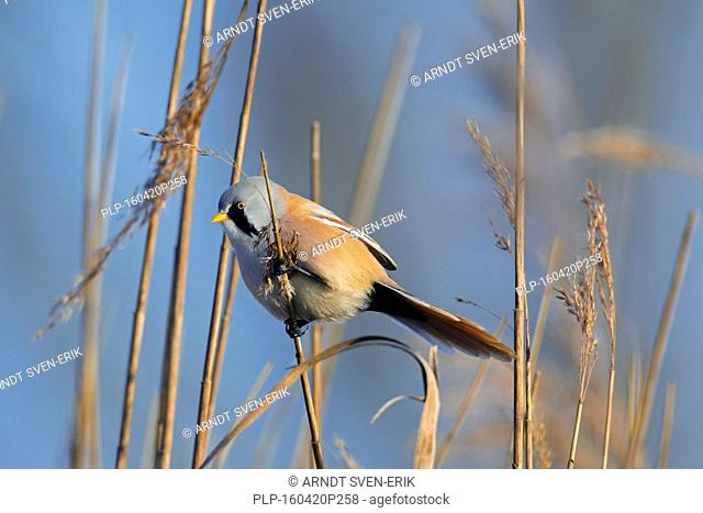Bearded Reedling / Bearded Tit (Panurus biarmicus) male clinging to a reed stalk in reed bed in winter