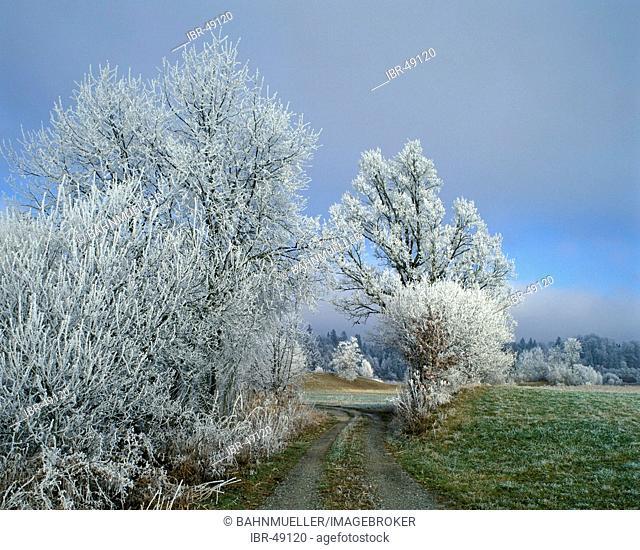 Tree bush bushes white frost morning dust