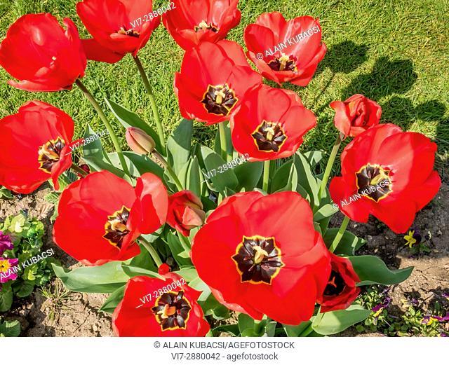 Oscar Triumph Tulip / Tulipa Triomphe 'Oscar'