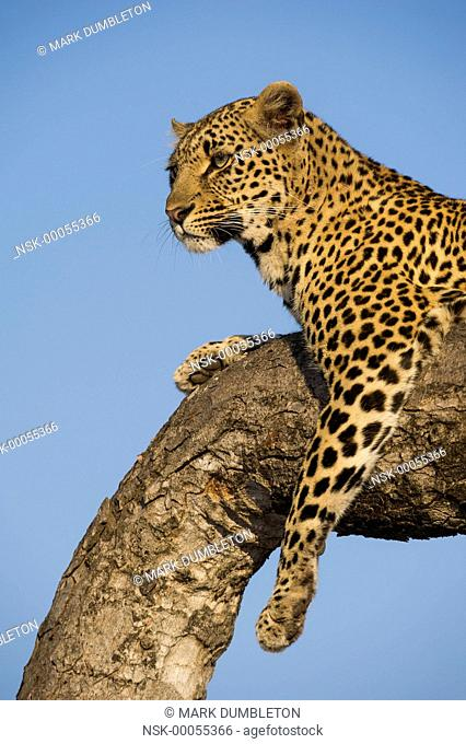 Female Leopard (panthera pardus) perched in a tree at sunrise, South Africa, Mpumulanga, Sabi Sands Game Reserve