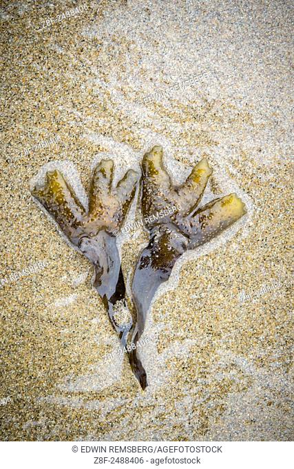 Seaweed washed ashore in Oregon, USA