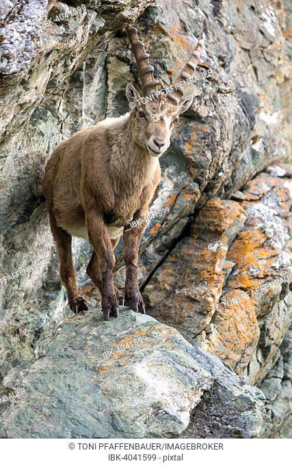 Alpine ibex (Capra ibex) in cliff, High Tauern National Park, Austria