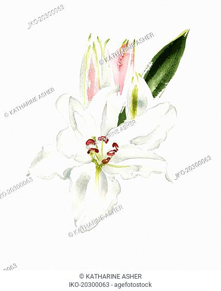 Watercolour painting of white lily