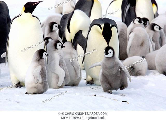 Emperor Penguin - With chicks (Aptenodytes forsteri). Snow Hill Island, Antarctica, Antarctic October