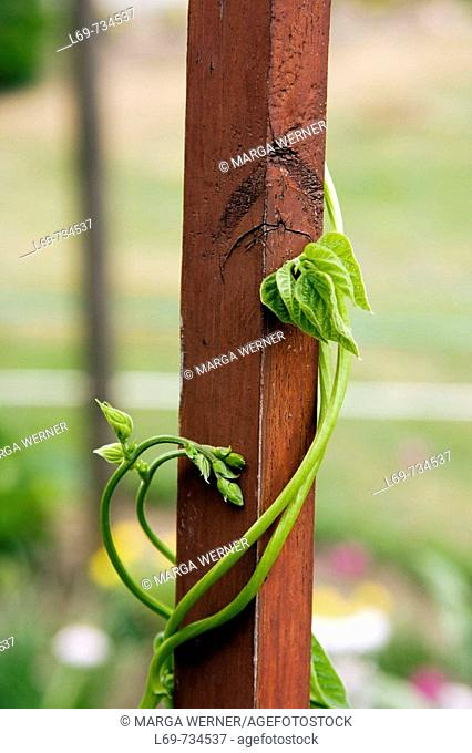 Runner beans in a garden Phaseolus spec   Germany