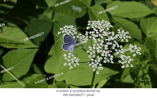 A blue butterfly is sitting on a white flower in a summer meadoe. Noraström, Västernorrlands Län, Sweden